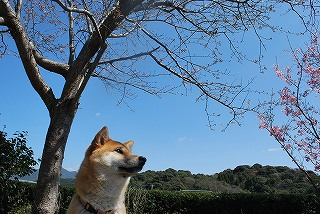 s25-八と桜.jpg