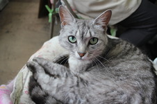 看板娘ならぬ看板猫のグレイと申します。どうぞよろしく。