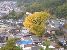 大公孫樹俯瞰。高さ40mを誇る巨木です。
