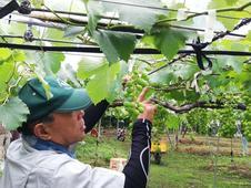 果房だけではなく、枝葉・根にも常に気を配り観察し栽培しています。