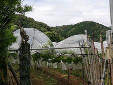 昭和62年植えの33年樹齢の12本を日当たりの良い農園で栽培しています。