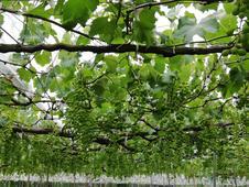 摘花→房落としを経て数量は1/15に。糖度の高いぶどう作りの秘訣です。