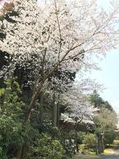 春がきた!『有田の春を彩る桜の名所』のご案内