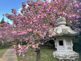 【有田の桜開花情報】桜ヶ丘公園・曲川神社の開花情報(2021年4月5日)をUPしました。
