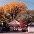 Big Gingko Tree