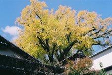 紅葉時期は、鮮やかな黄色が空に映えます。