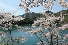 春には、エメラルドグリーンの美しい湖面をバックに桜を楽しむことができます。