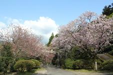 4月初旬~中旬にかけて八重桜が見頃を迎えます。